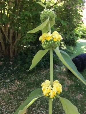 Sauge de Jérusalem.Phlomis grandiflora